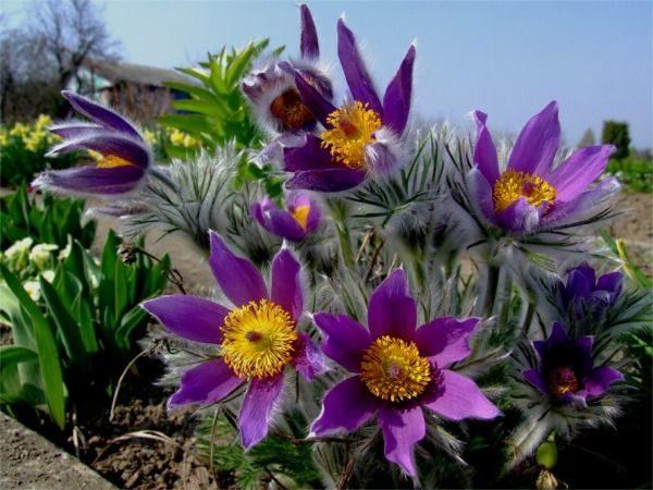 B012-sasanka-zwyczajna-blue-violet-5