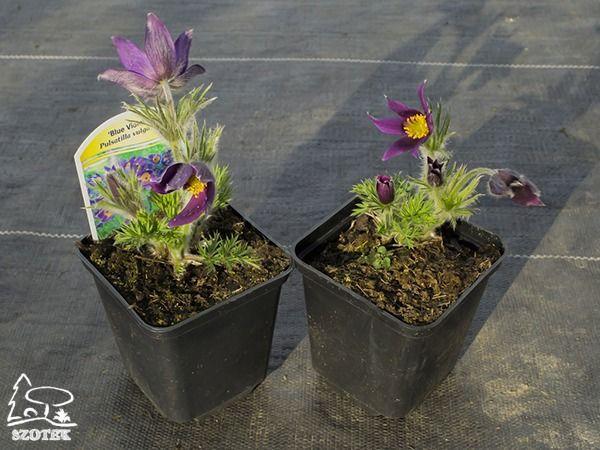 B012-sasanka-zwyczajna-blue-violet-s