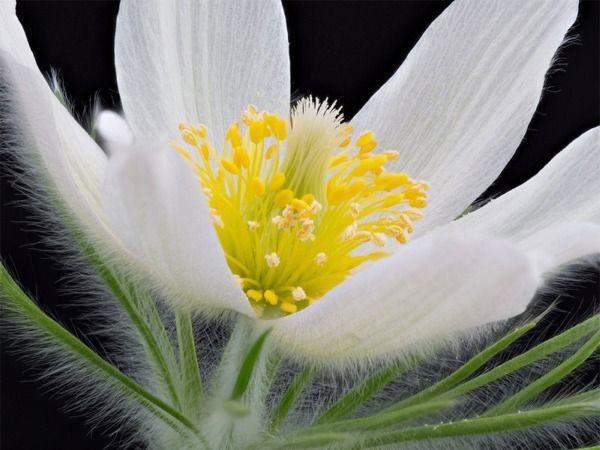 B013-sasanka-zwyczajna-pinwell-white-3