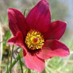 B014-sasanka-zwyczajna-pinwell-dark-red-shades-4