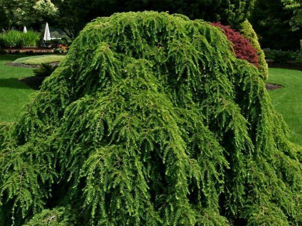 Choina Kanadyjska Pendula Sadzonki Ogrodniczy Sklep Wysyłkowy