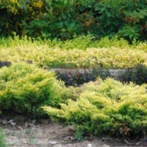 I010-jalowiec-plozacy-limeglow-7
