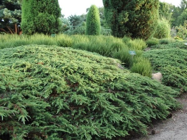 I013-jalowiec-pospolity-green-carpet-1