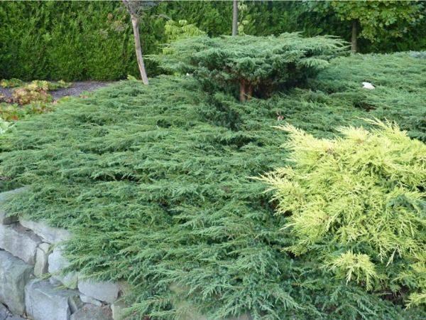 I013-jalowiec-pospolity-green-carpet-2