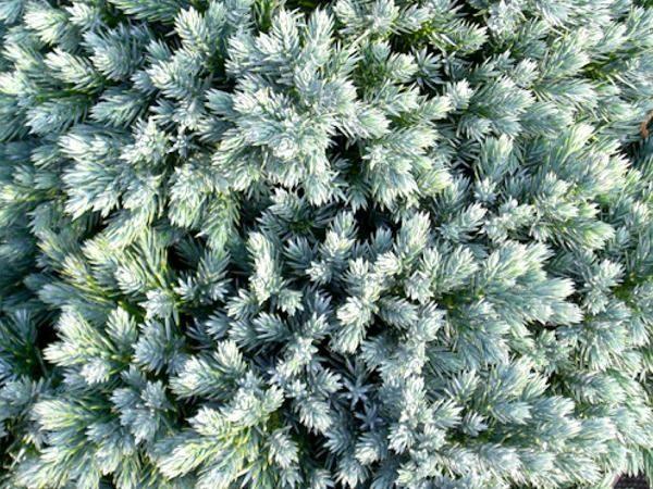 I018-jalowiec-tepoluskowy-blue-star-2