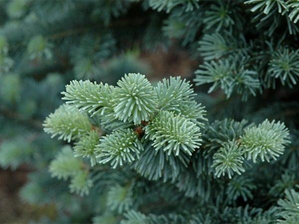 I019-jodla-gorska-arizonica-compacta-7