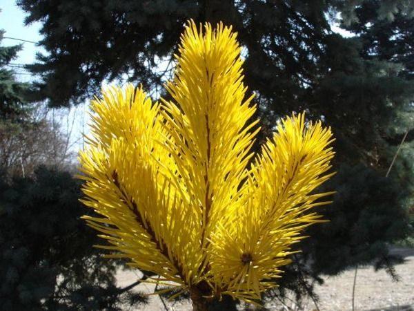 I026-sosna-pospolita-aurea-6