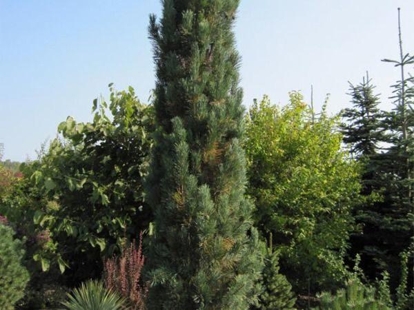 I027-sosna-pospolita-fastigiata-3