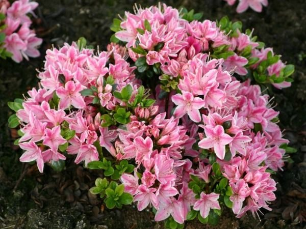 L005-azalia-japonska-kermesina-rose-1