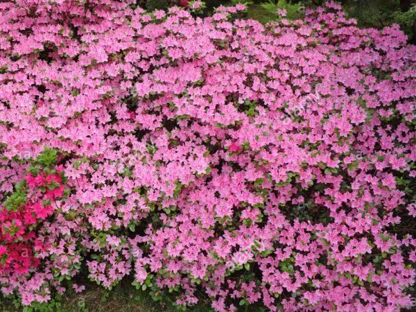 L005-azalia-japonska-kermesina-rose-3