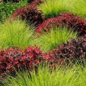 berberys thunberga atropurpurea nana