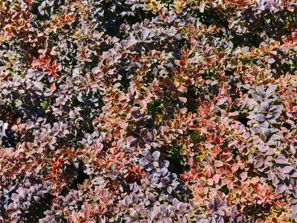 berberys thunberga coronita