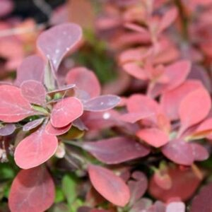 berberys thunberga red rocket