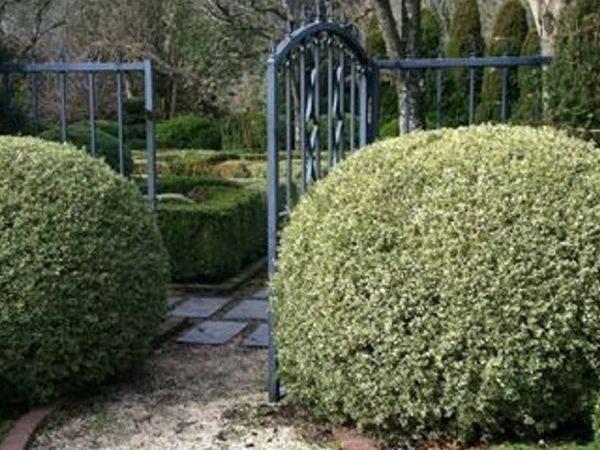 L025-bukszpan-wieczniezielony-variegata-3