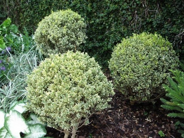 L025-bukszpan-wieczniezielony-variegata-5