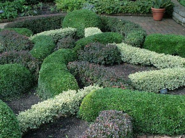 L025-bukszpan-wieczniezielony-variegata-7