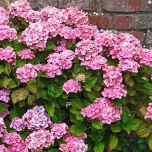 L034-hortensja-ogrodowa-bouquet-rose-7