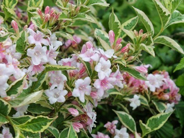 krzewuszka cudowna variegata