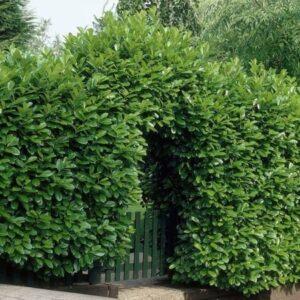 laurowisnia wschodnia rotundifolia