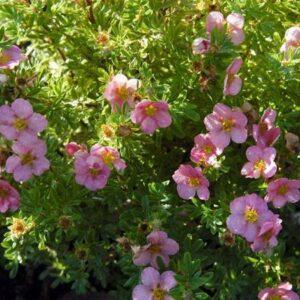 pięciornik krzewiasty pink queen