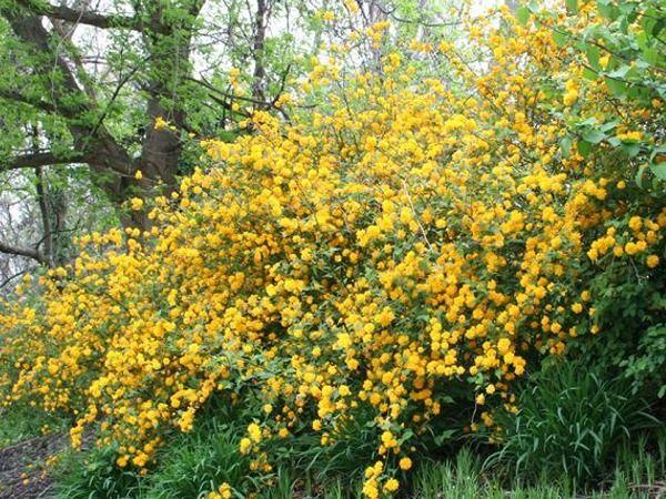 złotlin japoński pleniflora