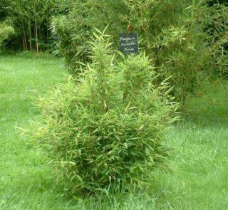 T001-bambus-parasolowaty-bimbo-4
