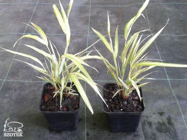 T010-trawa-bambusowa-albo-striata-s9