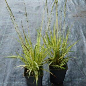 T013-trzeslica-modra-variegata-s9