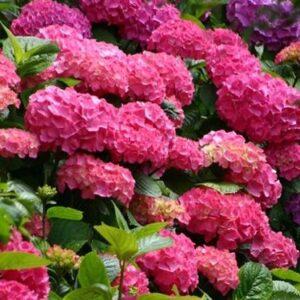 Hortensja ogrodowa BOUQUET ROSE