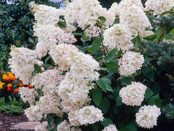 L104-hortensja-grandiflora-3