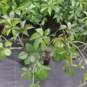 Winobluszcz pięciolistkowy