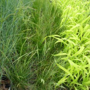 kostrzewa nitkowata festuca filiformis