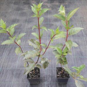 hortensja bukietowa wims red