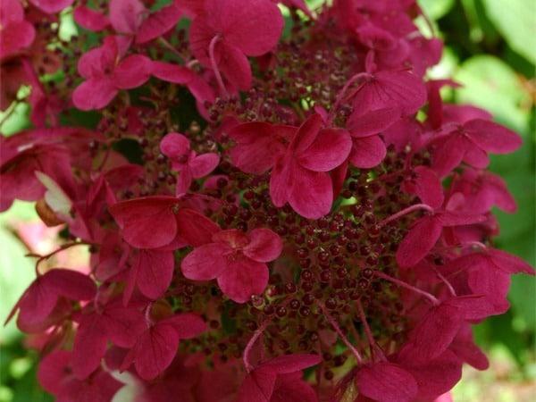 Hortensja bukietowa WIM'S REDS