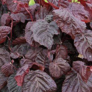 leszczyna pospolita red majestic
