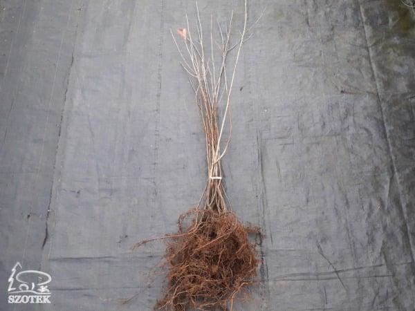 aronia czarnoowocowa
