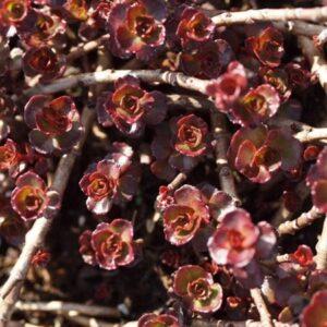 rozchodnik kaukaski purpurteppich