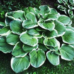 hosta funkia christmas tree