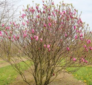 L233-magnolia-susan-6