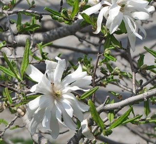 L235-magnolia-royal-star-7