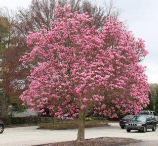 L236-magnolia-galaxy-2
