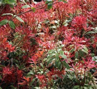 leuchtend roter Austrieb, cremeweiße Blattränder, als Kübelpflanze geeignet