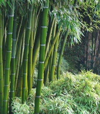 T029-phyllostachys-pubescens-1