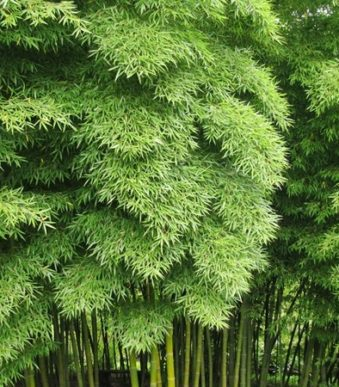 T029-phyllostachys-pubescens-5