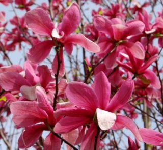 L236-magnolia-galaxy-7