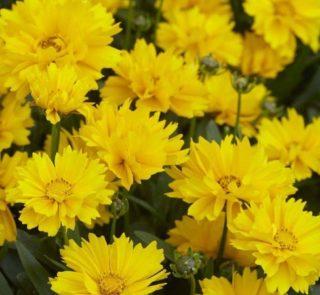 B151-nachylek-wielkokwiatowy-presto-1