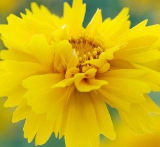 B151-nachylek-wielkokwiatowy-presto-2