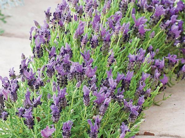 B170-lawenda-francuska-bandera-purple-6