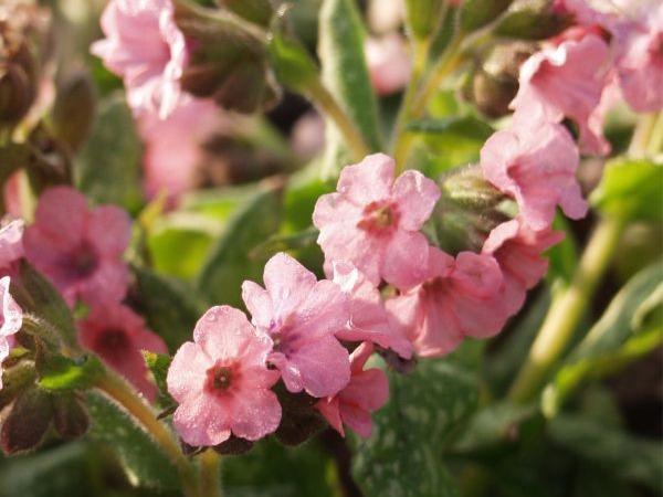 B171-miodunka-plamista-pink-haze-3