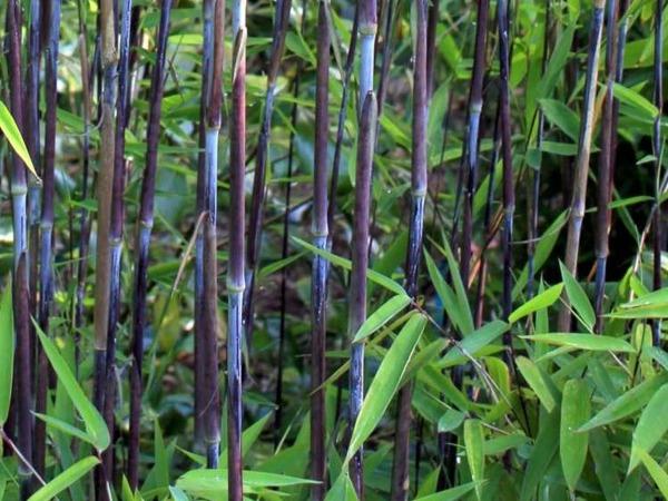 24b2d42fb68937 Fargezja lśniąca BLACK PEARL - sadzonki   Ogrodniczy sklep wysyłkowy